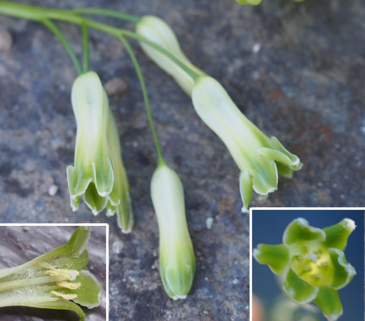 Solomon's-seal, Common flower