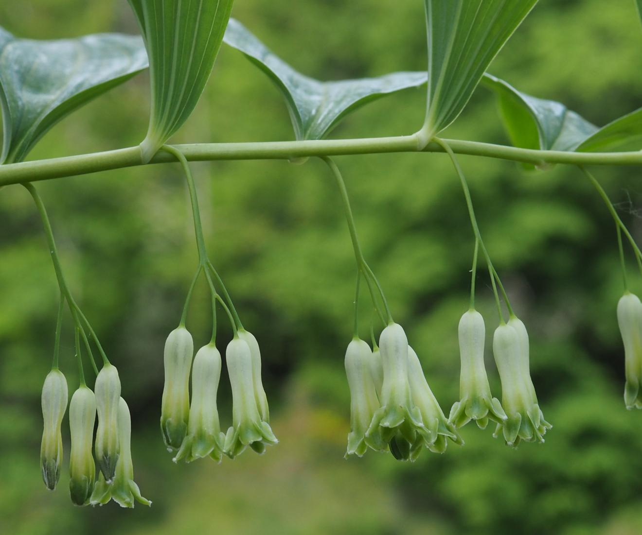Solomon's-seal, Common