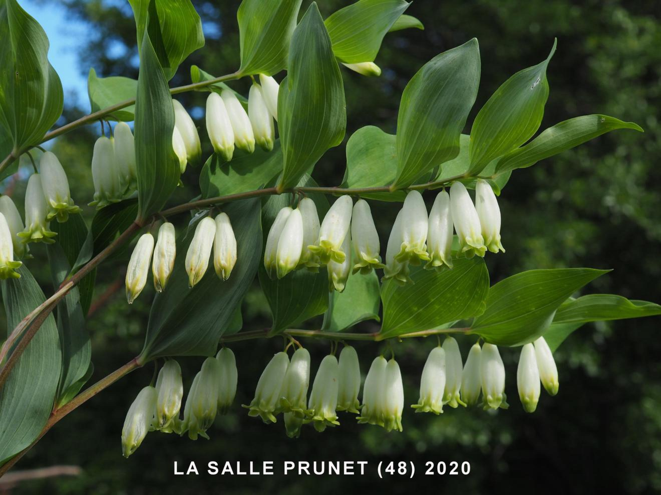 Solomon's-seal, Sweet-scented