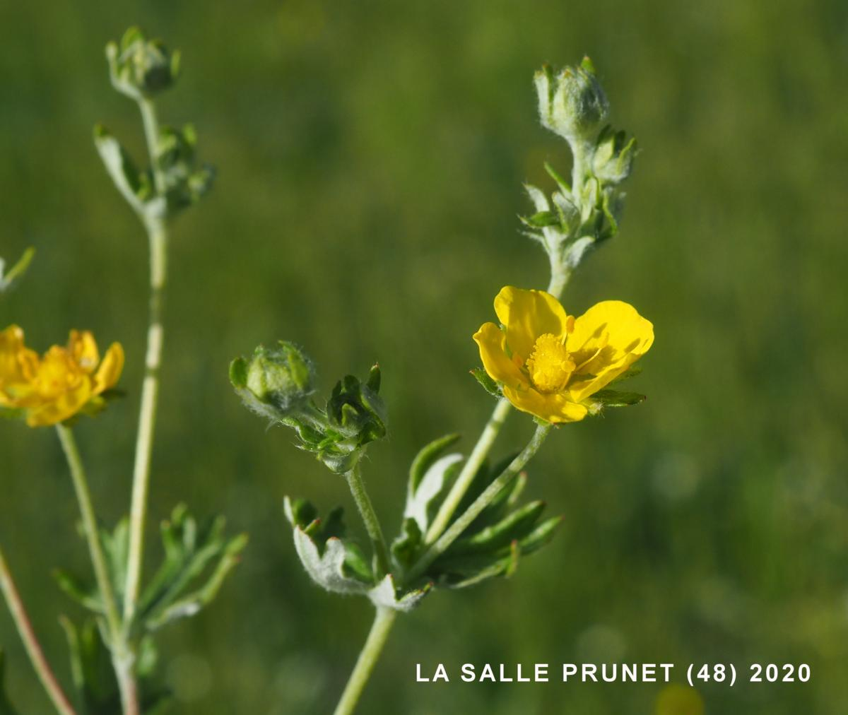 Cinquefoil, Hoary flower