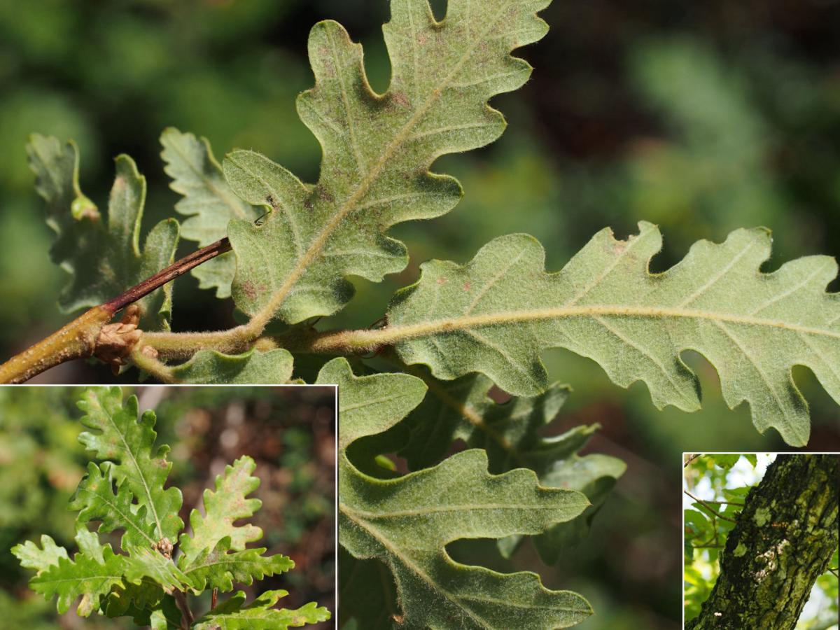 Oak, Pubescent leaf