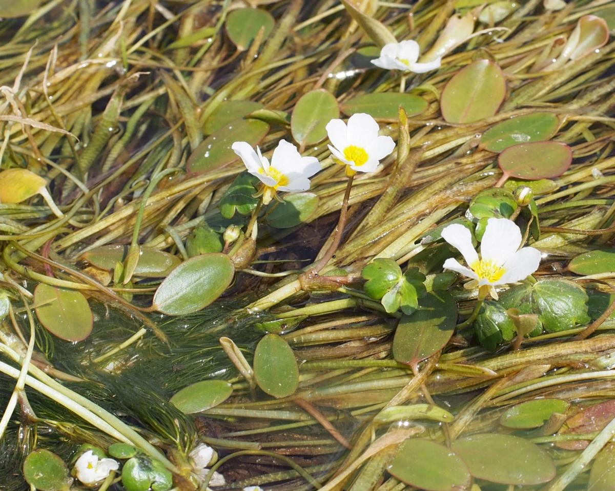 Crowsfoot, Water flower