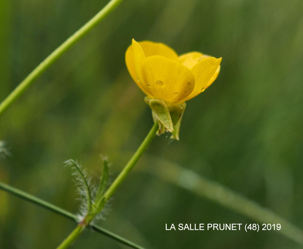 Buttercup, Bulbous flower