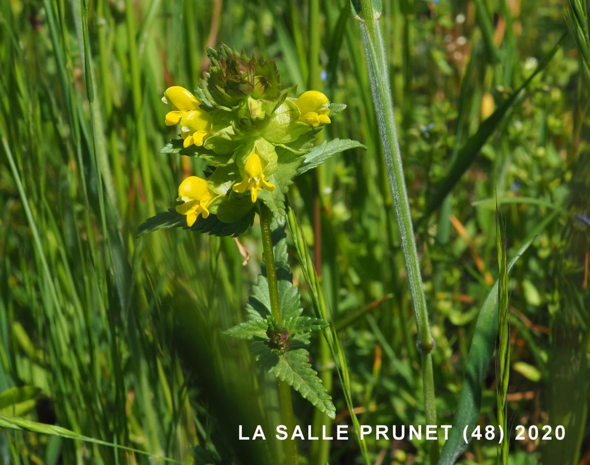 Yellow Rattle, Common plant