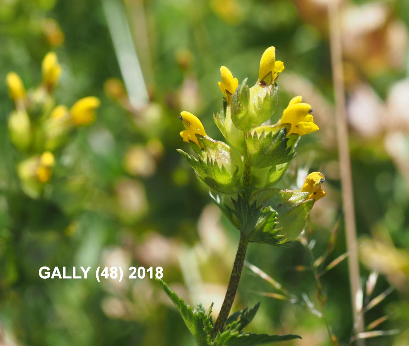 Yellow Rattle, Common