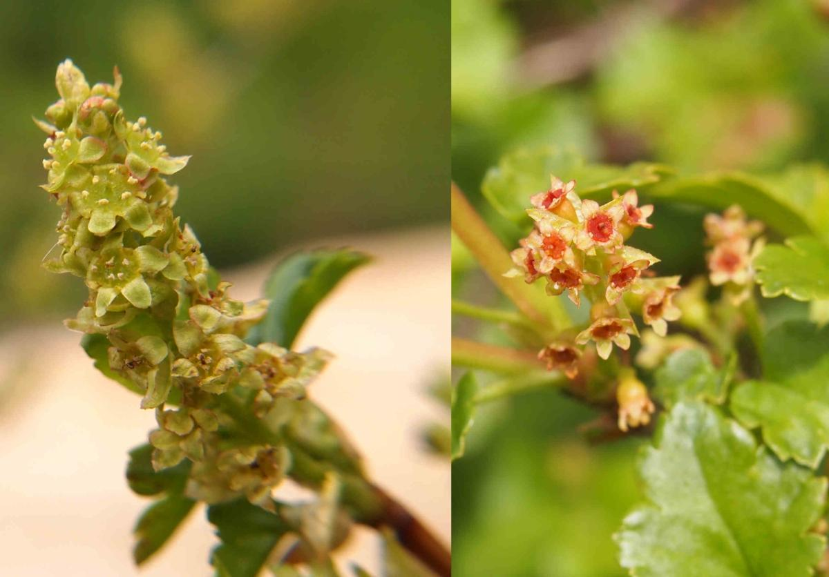 Currant, Mountain flower
