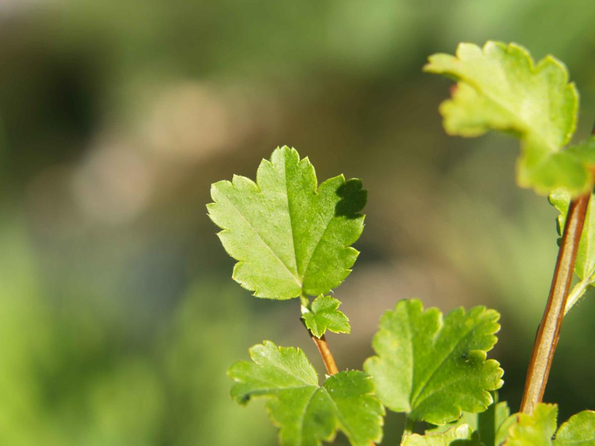 Currant, Mountain leaf