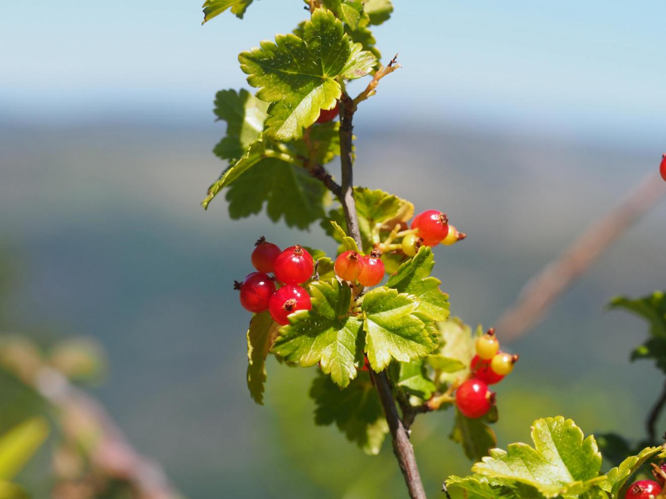 Currant, Mountain