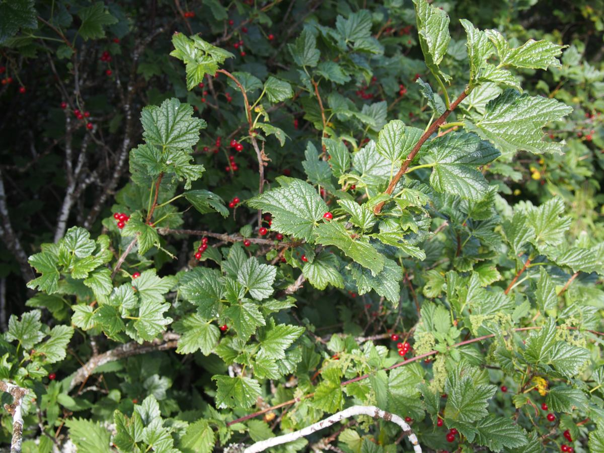 Currant, Rock Red plant