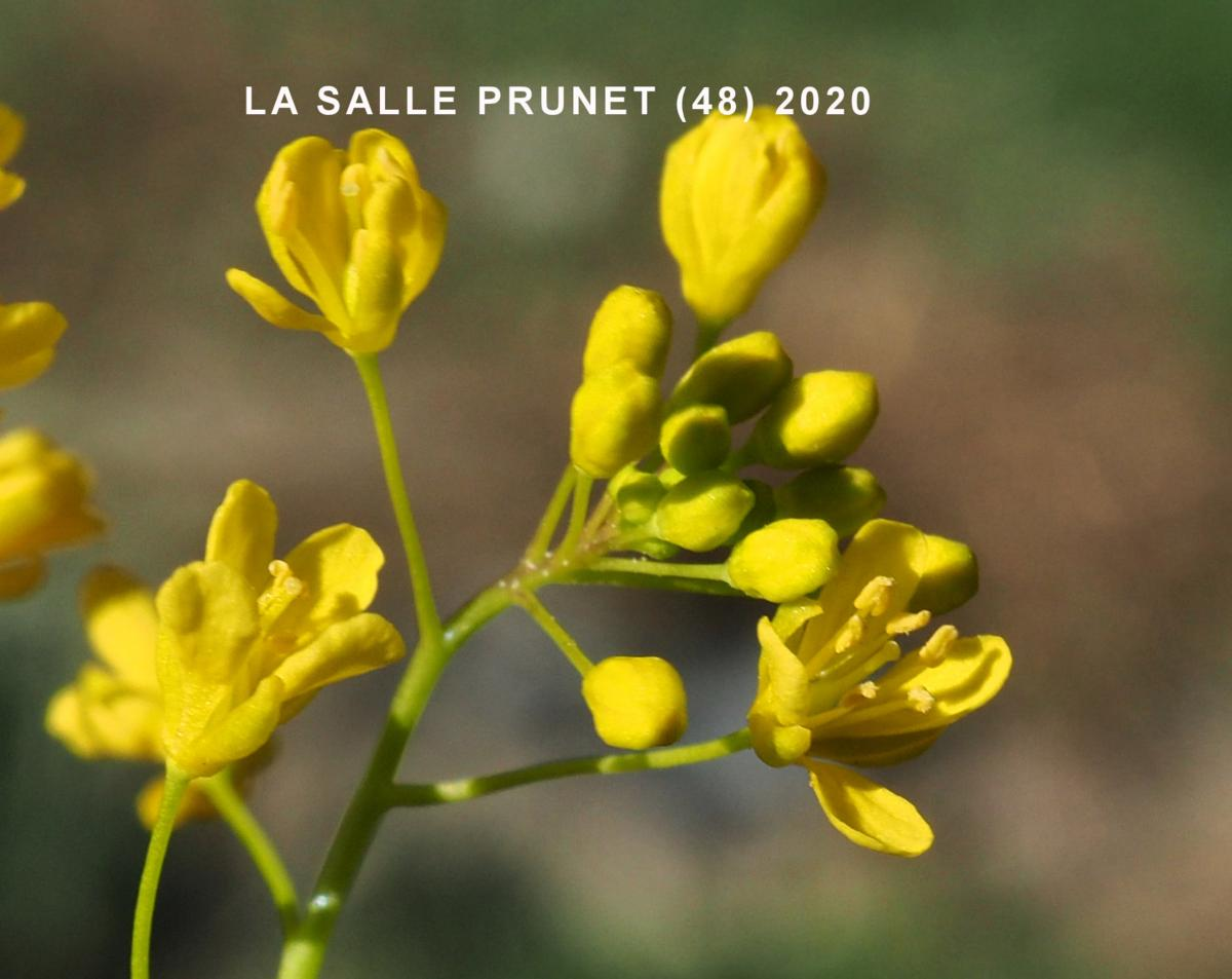 Yellow-cress, Pyrennean flower