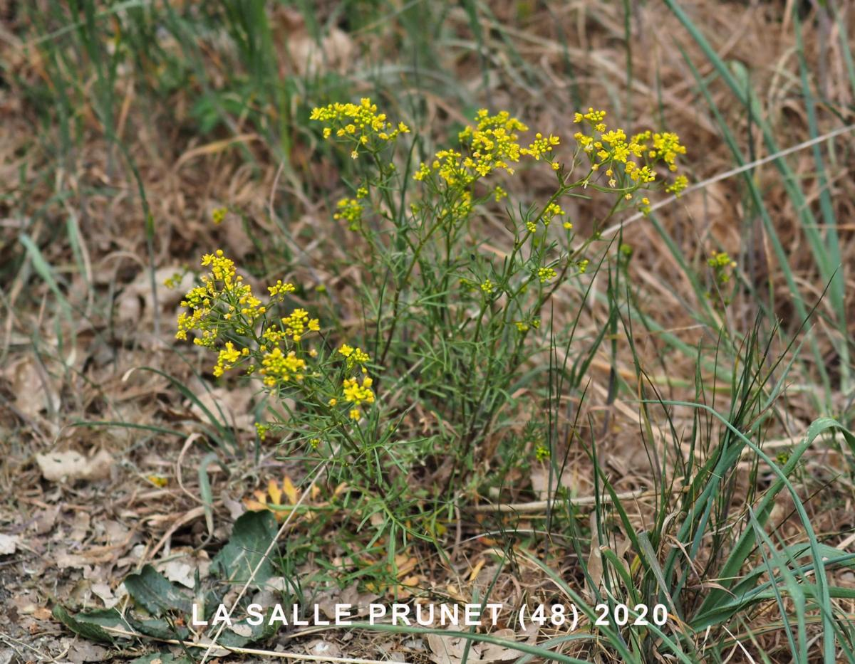 Yellow-cress, Pyrennean plant