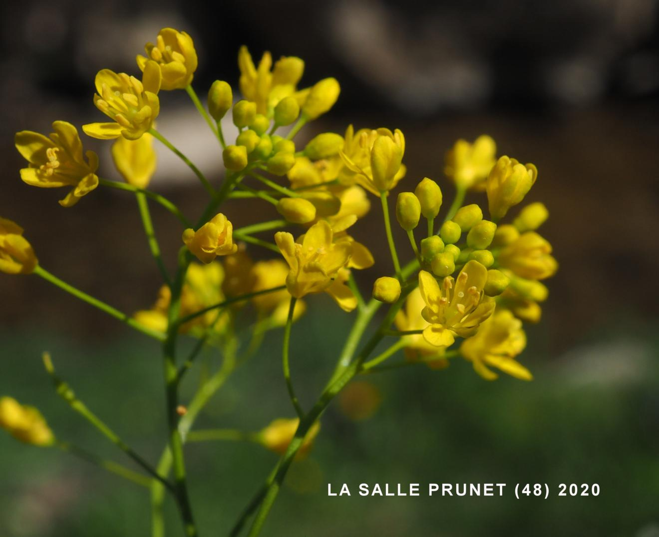 Yellow-cress, Pyrennean