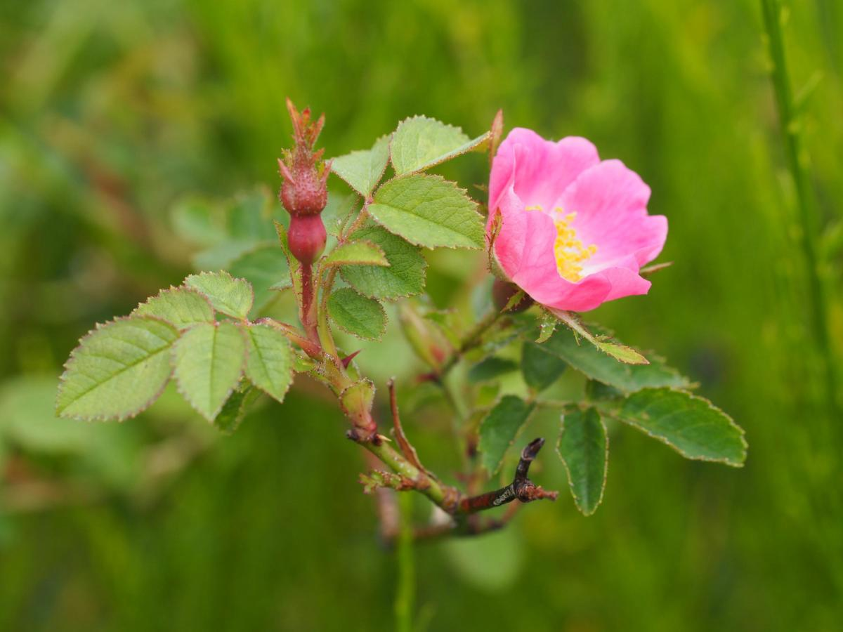 Rose, Soft-leaved flower