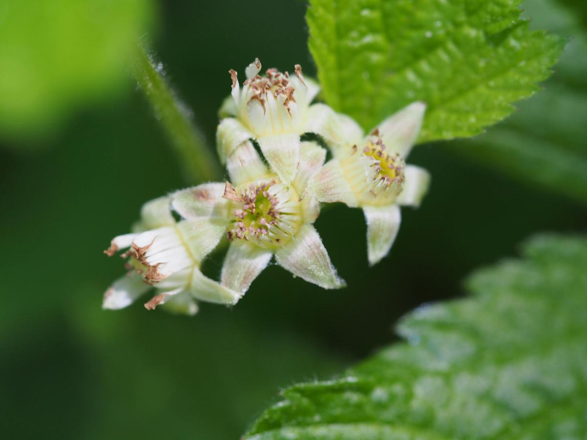 Bramble, Rock flower