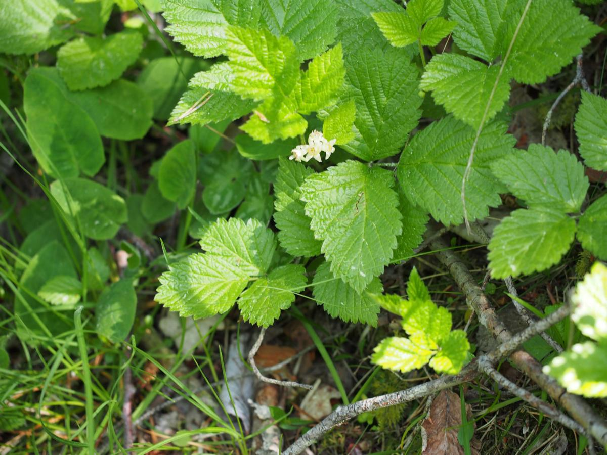 Bramble, Rock plant