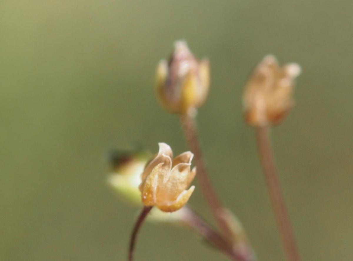 Pearlwort, Common fruit