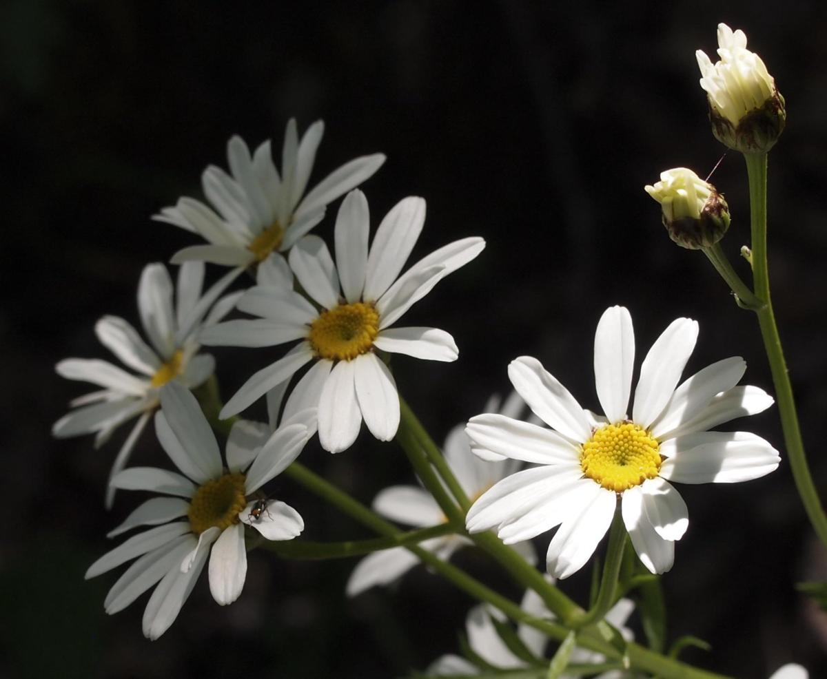 Feverfew, Scentless flower
