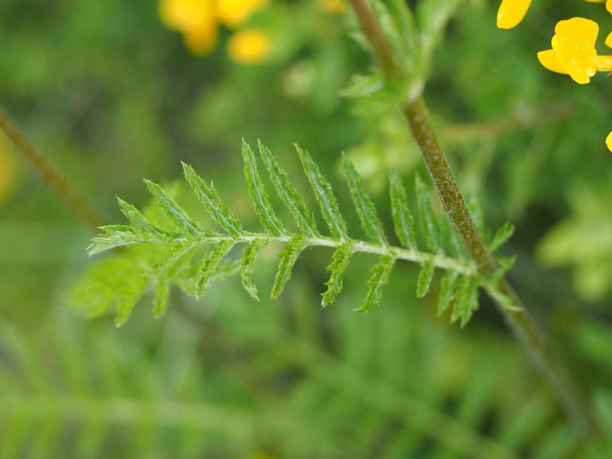 Feverfew, Scentless leaf