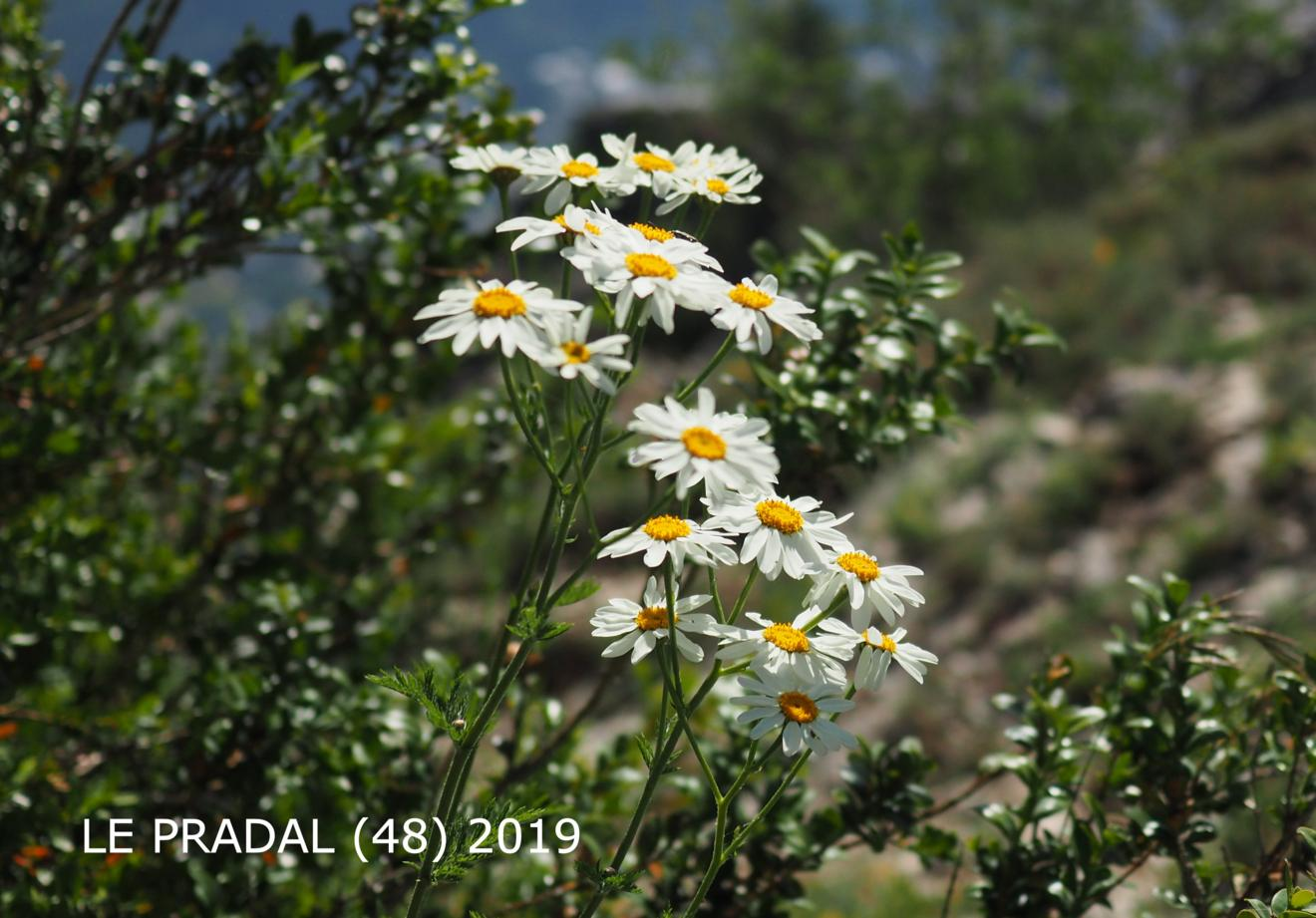 Feverfew, Scentless