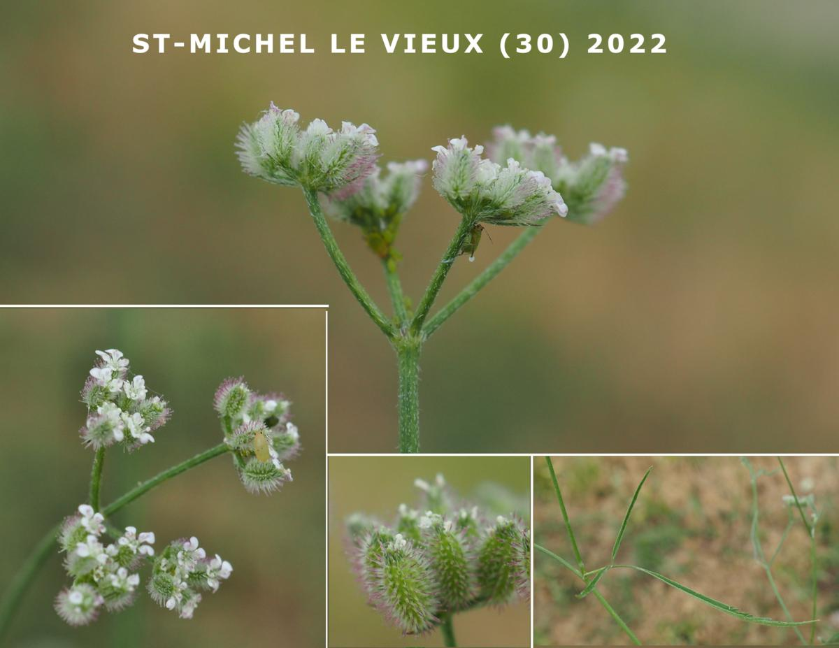 Burr Parsley, (Purple) plant