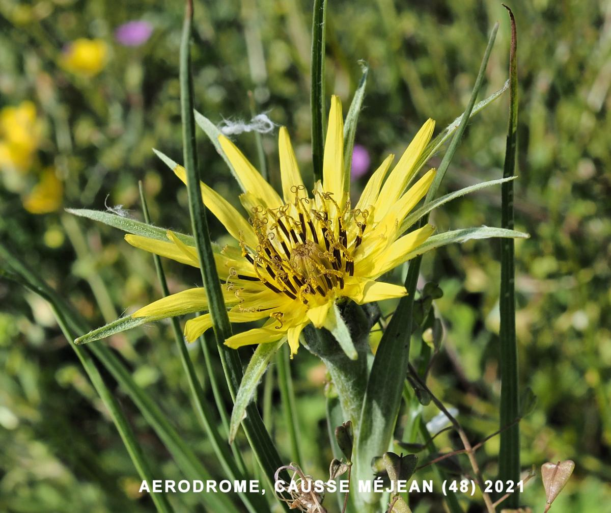 Salsify, Yellow flower