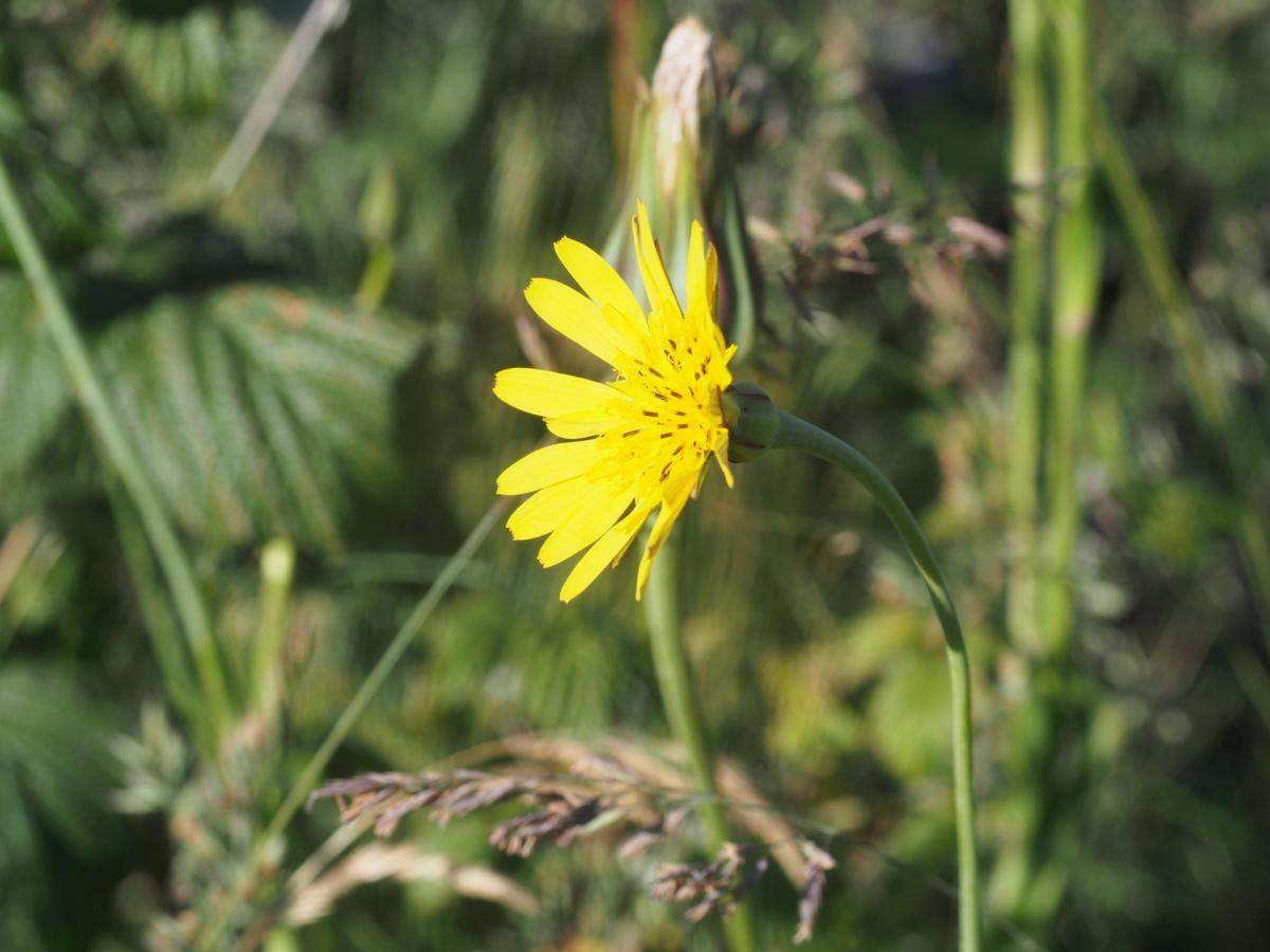 Goat's-Beard flower