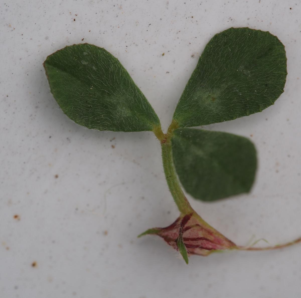 Trefoil, Soft leaf