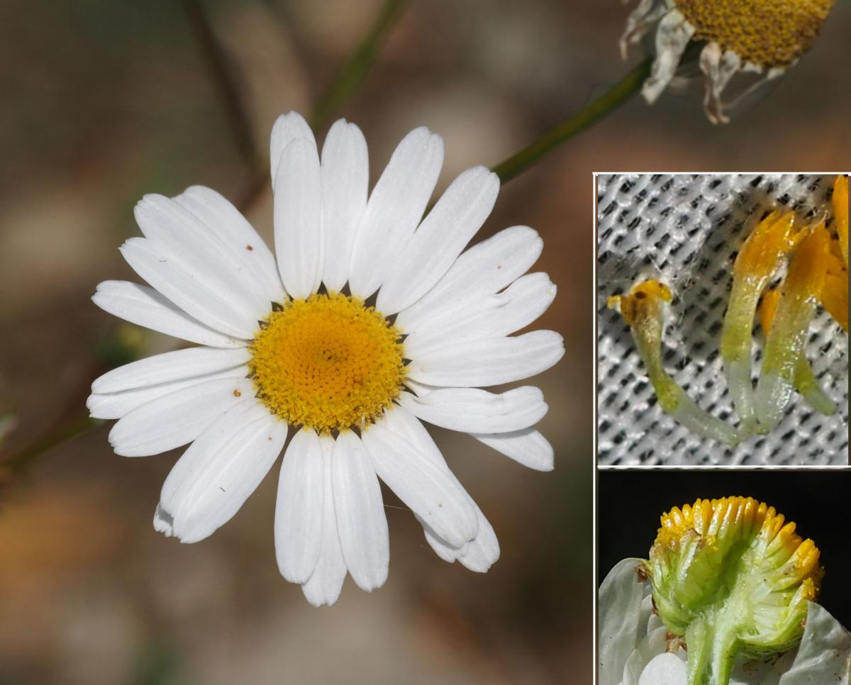 Mayweed, Scentless flower