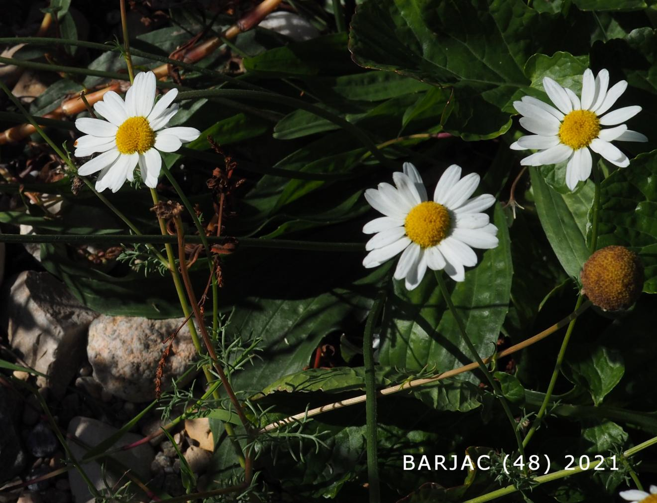 Mayweed, Scentless