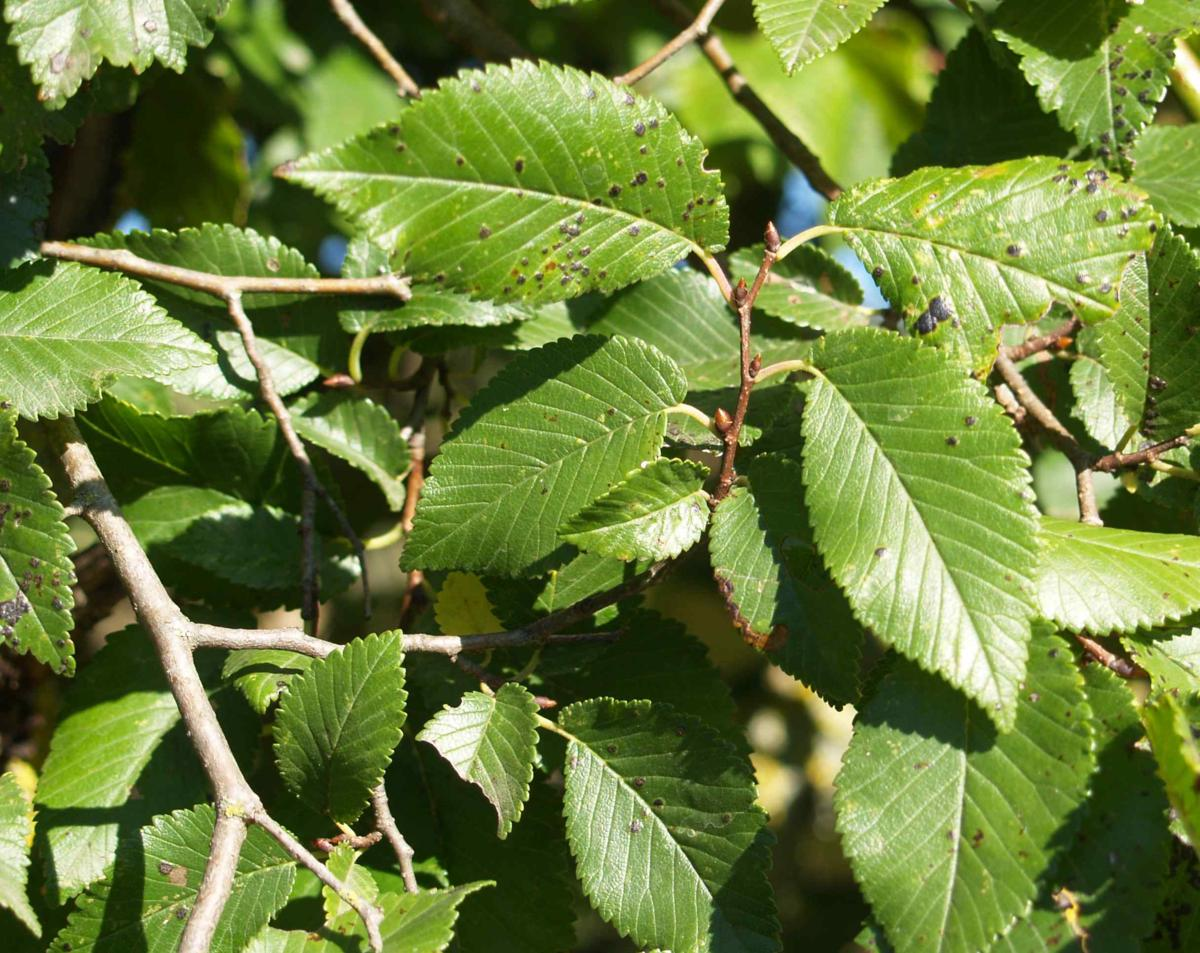 Elm, Common leaf