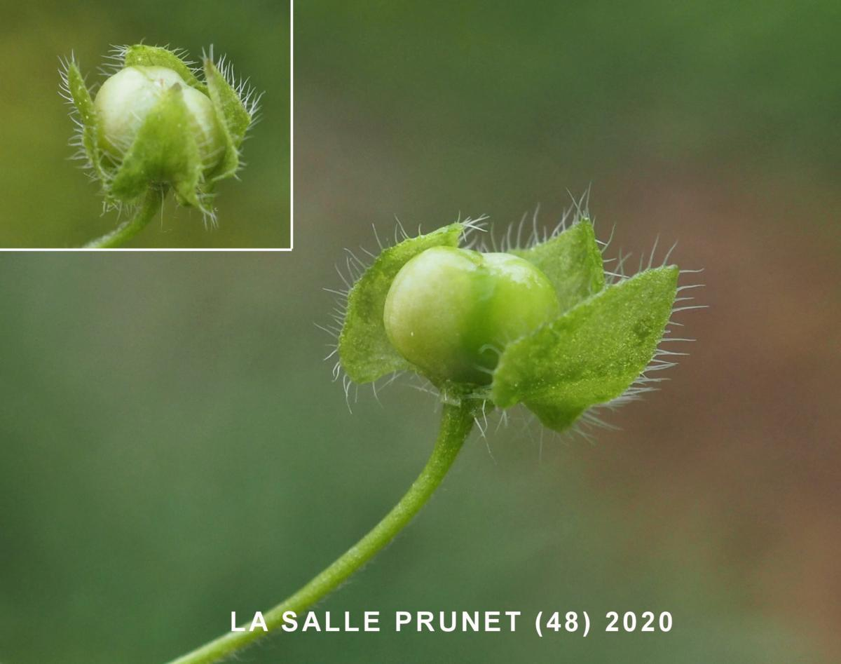 Speedwell, Ivy-leaved fruit