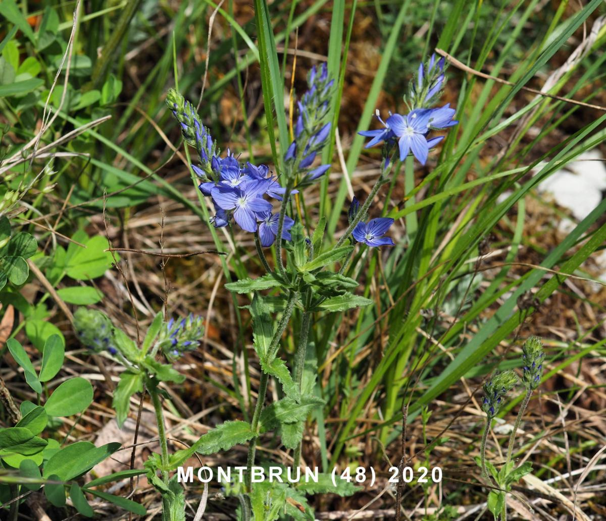 Speedwell, Large plant