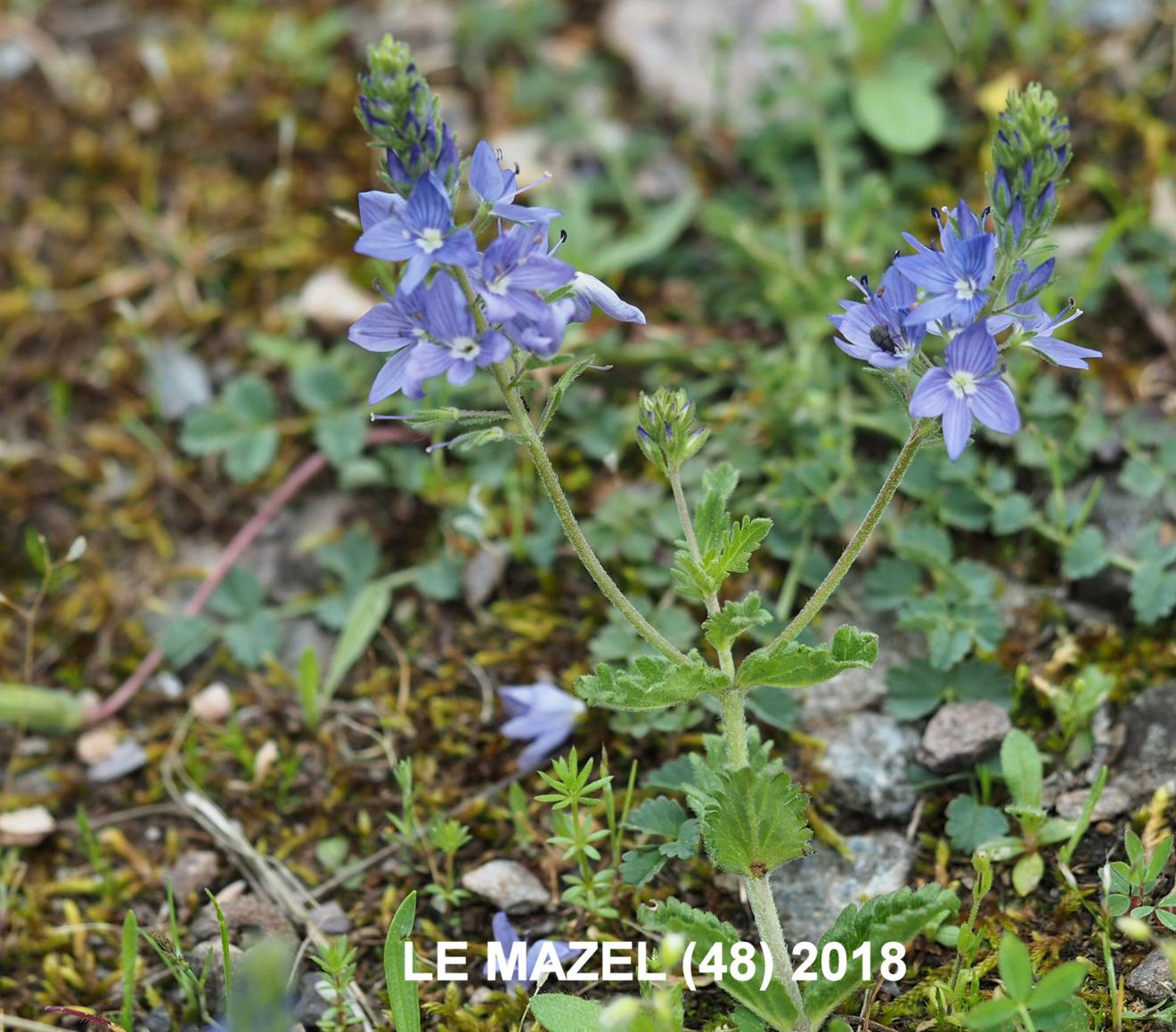 Speedwell, Large
